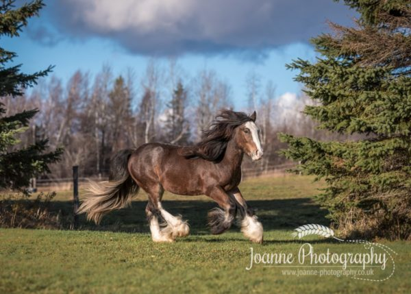 Gypsy-Cantering