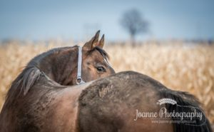 Warmblood Horse Corn Field