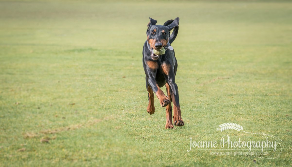 Dobermann Action Shot