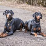 Dobermann Portrait