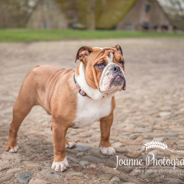 British Bulldog Dunham Massey