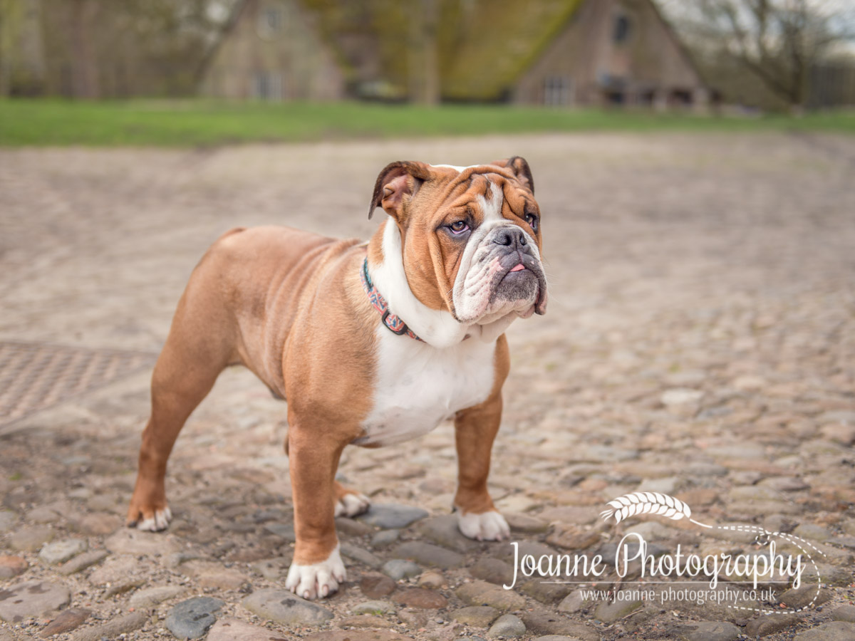 British Bulldog Dunham Massey