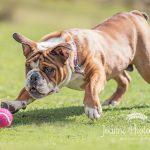 British Bulldog and pink ball