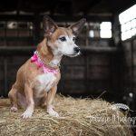 Dog in barn photo