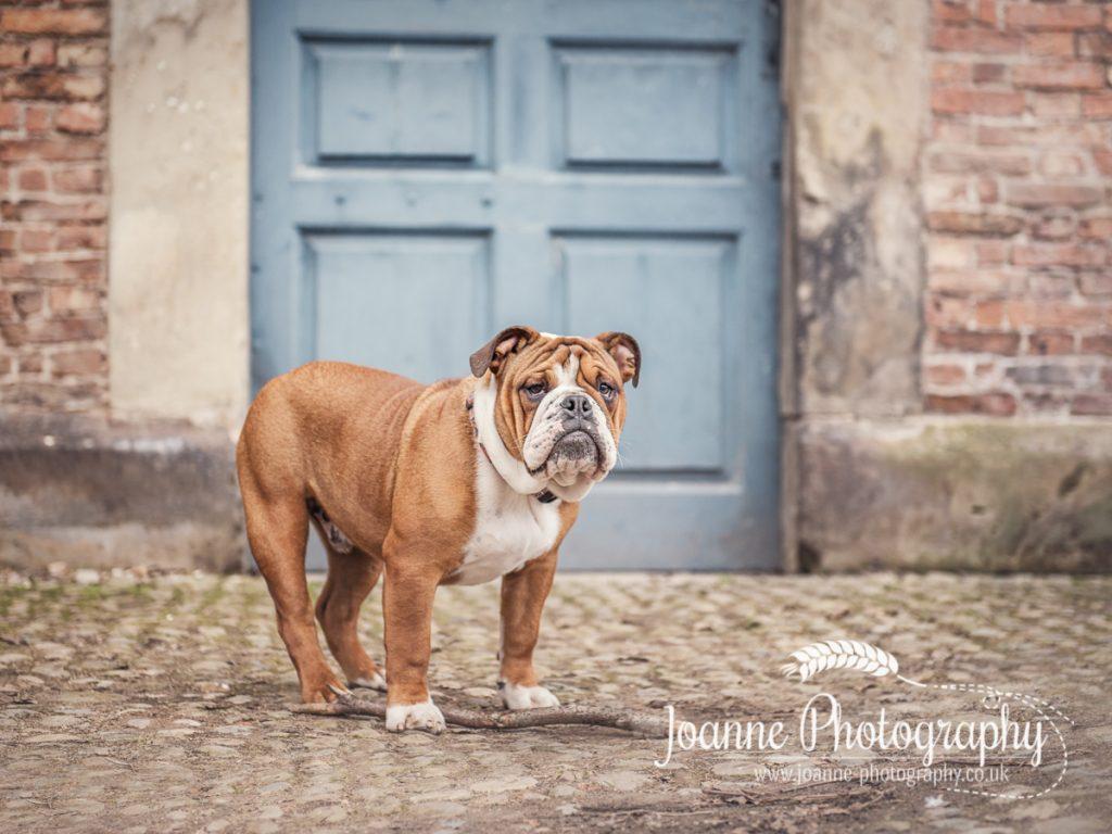 Dunham Massey British Bulldog