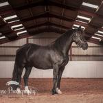 Horse Portrait Cheshire