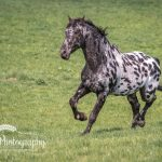 Horse running Macclesfield
