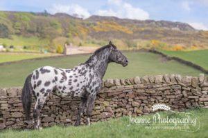 knabstrupper stallion