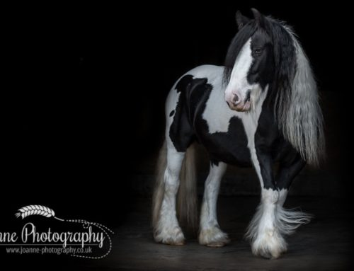 Black Background Horse Portraiture