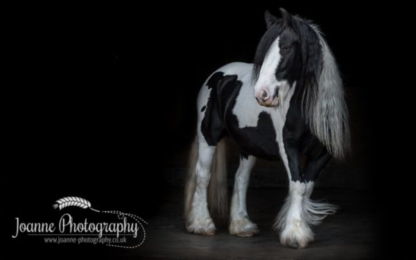 gypsy-mare-black-background