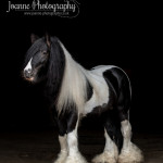 gypsy stallion black background