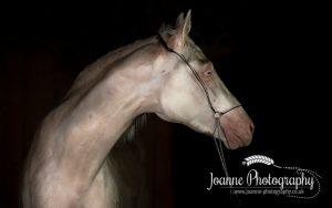 stallion black background