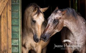 two horses black background