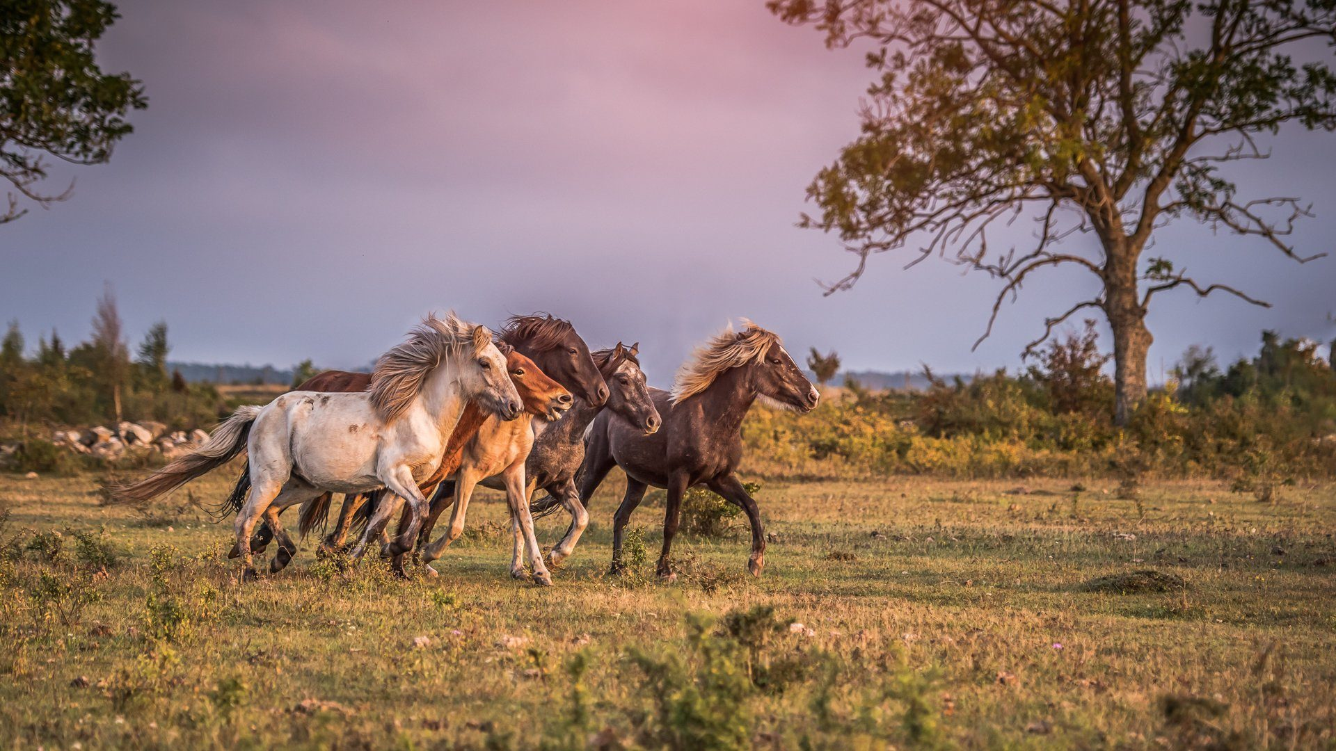 Herd Iceland Horses