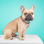 french bulldog photography