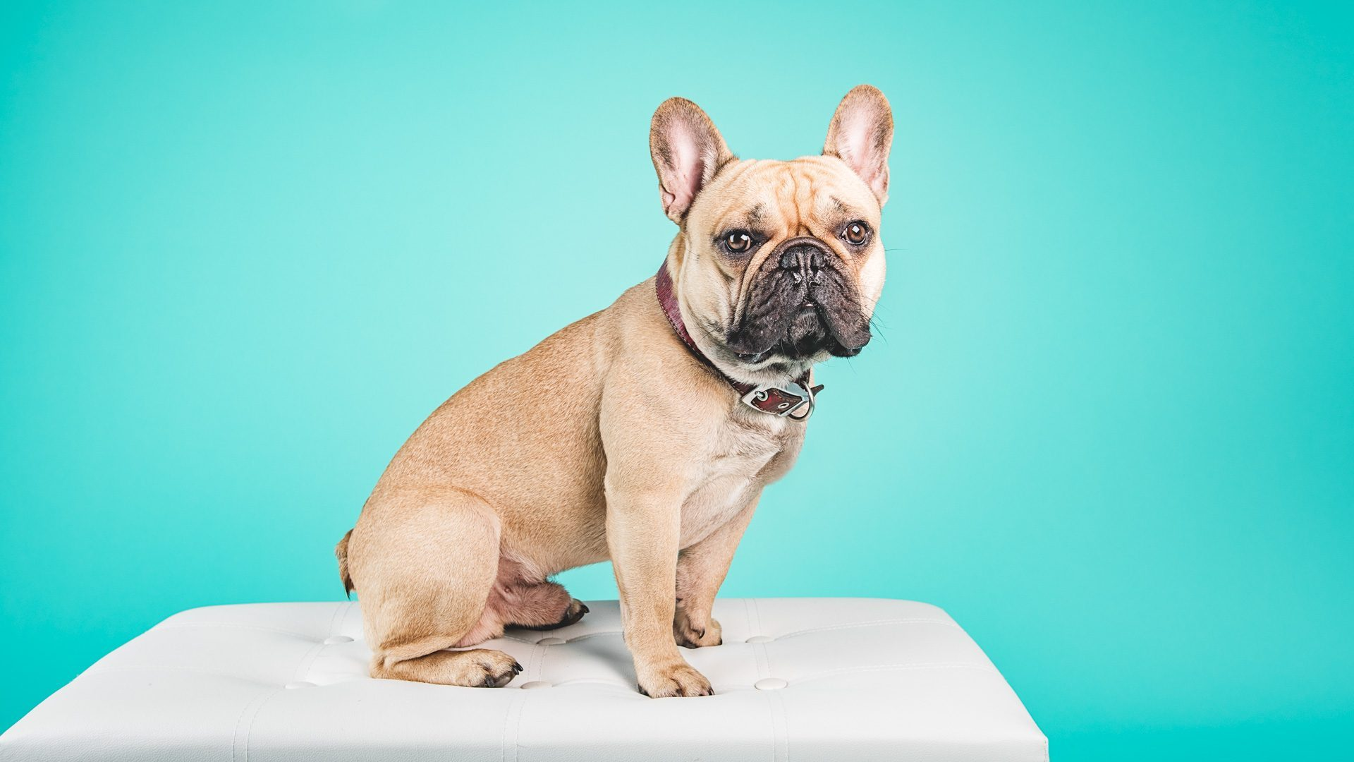 french-bulldog-photography