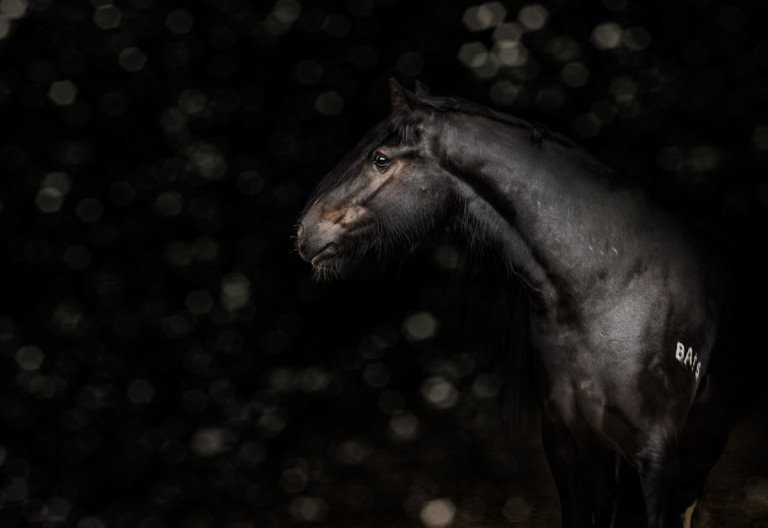 Black Background Horse Portrait