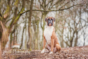 Boxer Dog in Liverpool