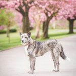Dog Portrait Blossoms