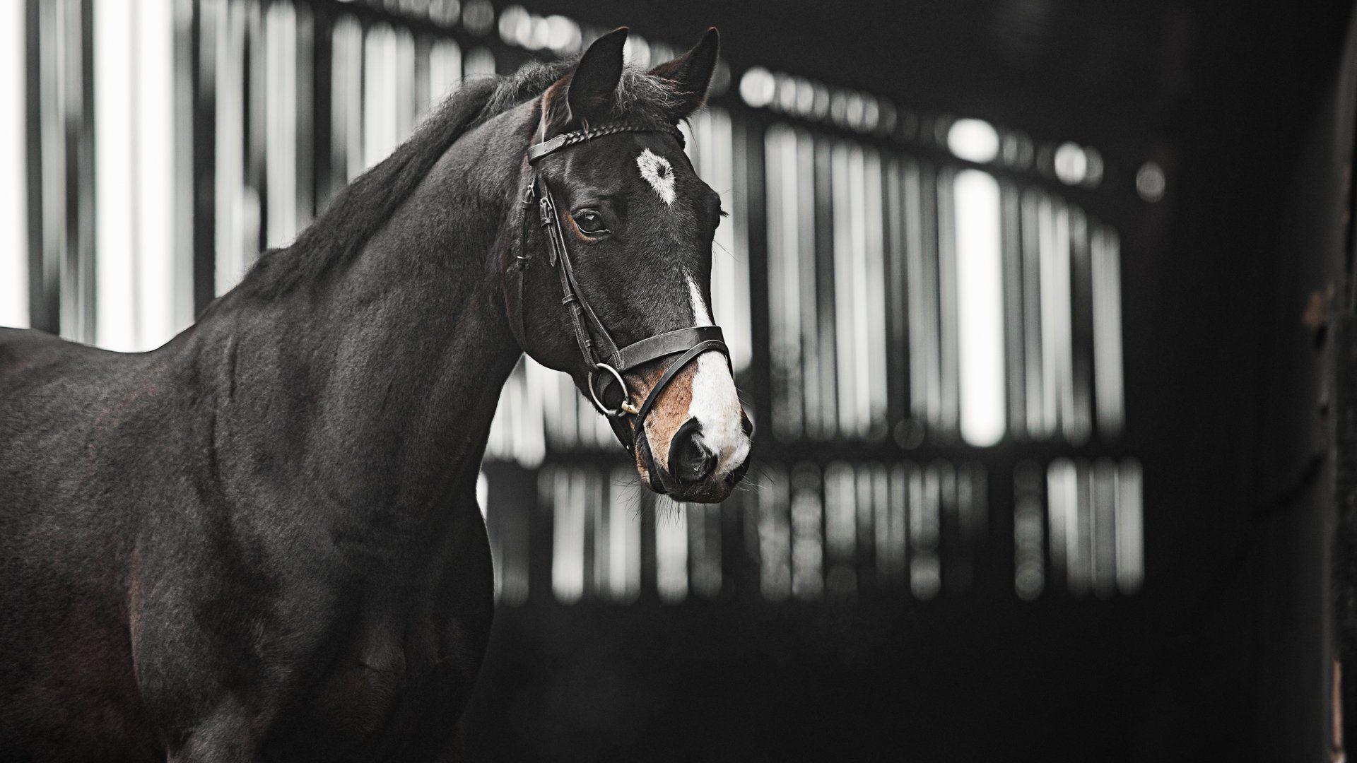 Horse-Portrait-Barney