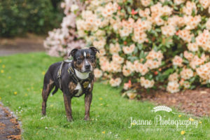 Staffordshire Bull terrier photography