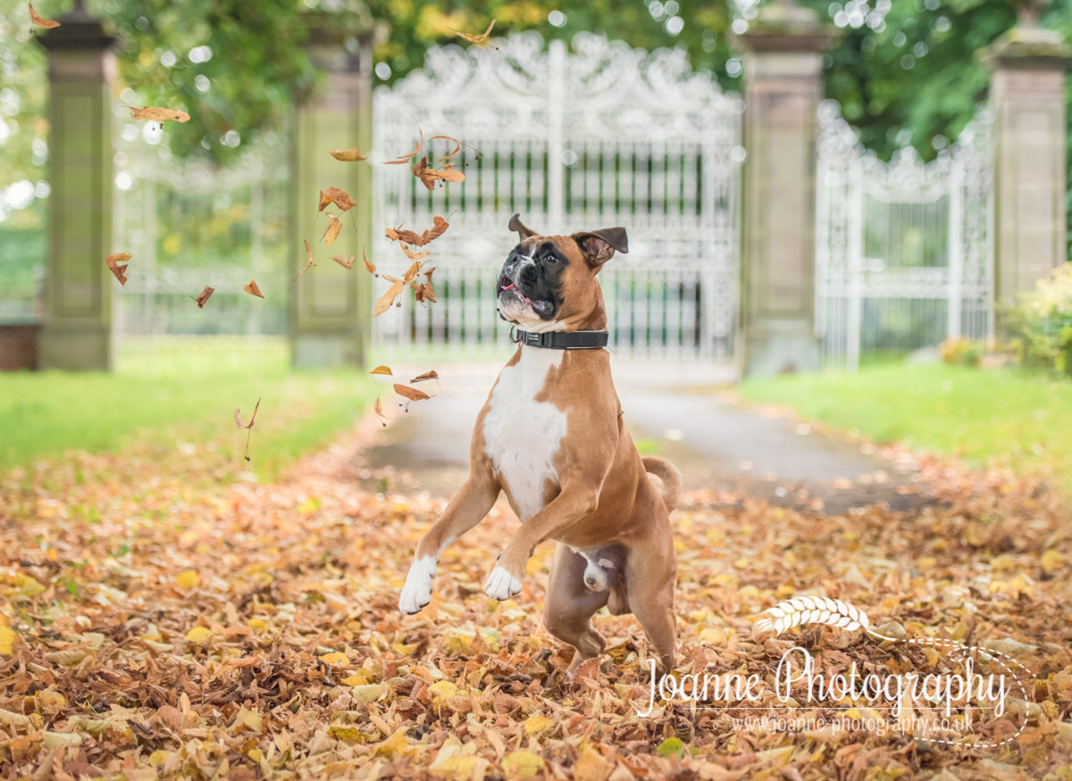 boxer dog playing with tree leaves