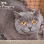 British-blue-cat-photography