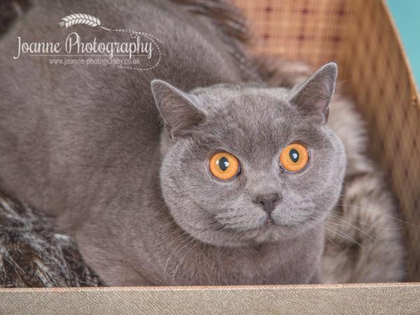 British-blue-cat-photography