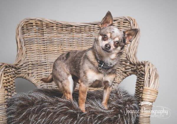 Chihuahua-dog-photograpy-stockport