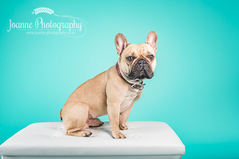French bulldog studio photography