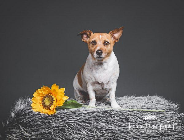 Jack-Rusell-dog-photographer-Cheshire