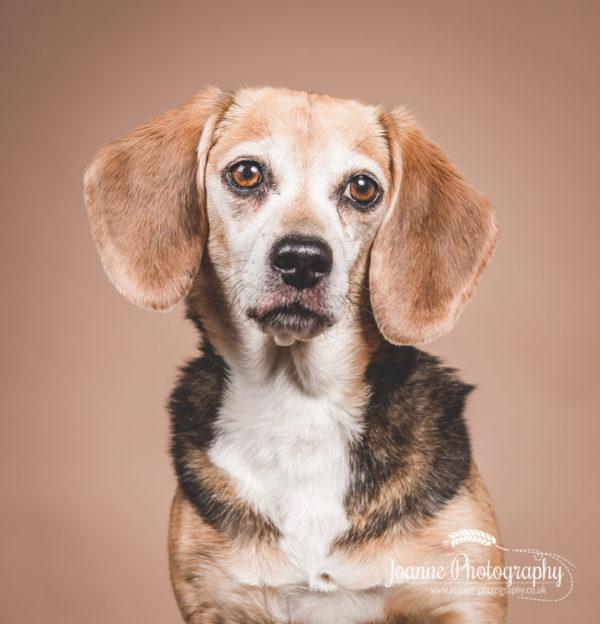 Older-beagle-dog-photography