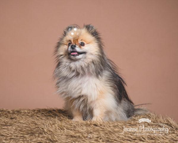 Pomeranian-dog-photographer