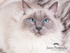 Ragdoll cat photography cheshire