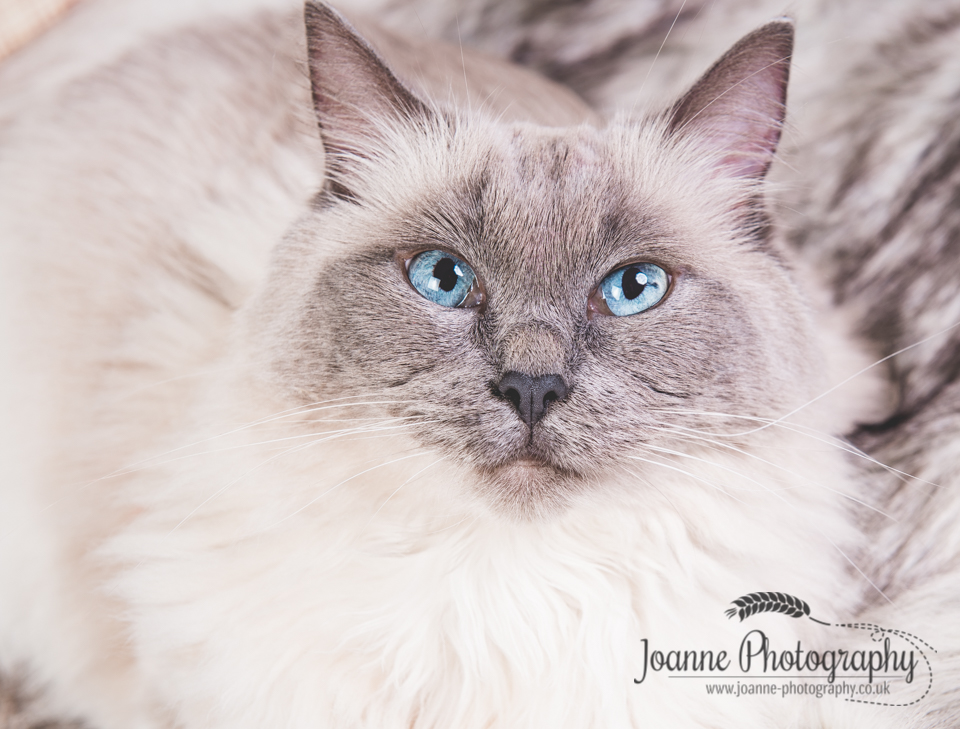 Ragdoll cat photography cheshire