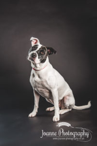 Staffordshire bull terrier cross photography