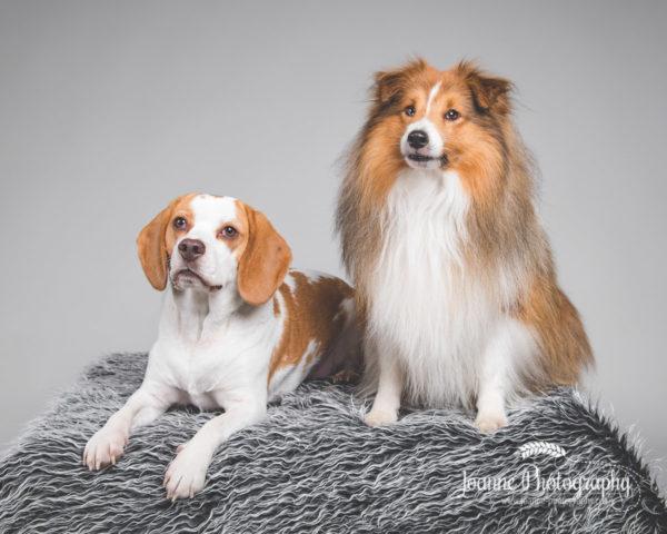 beagle-and-Shetland- sheepdog-collie