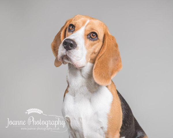 beagle-portrait-photography