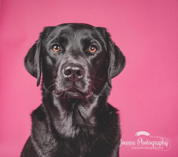 black-labrador-on-pink