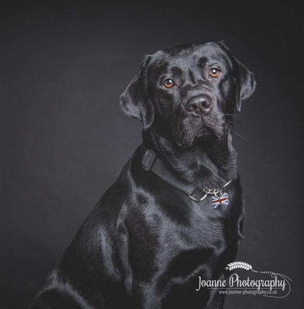 black-labrador-studio-photography