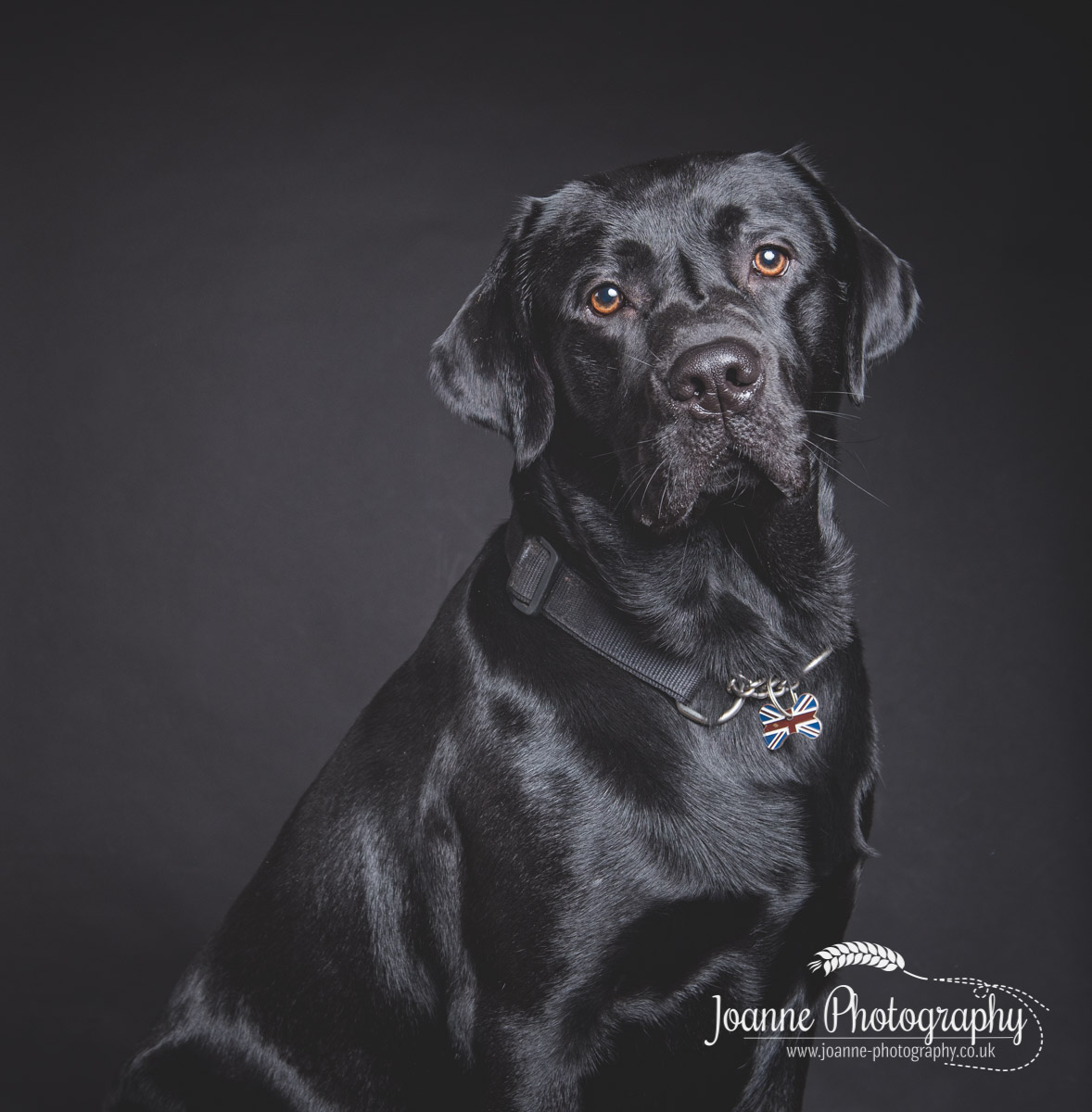 black-labrador-studio-photography