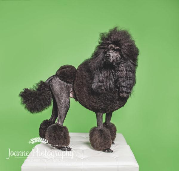 black-standard-poodle-dog-photographer
