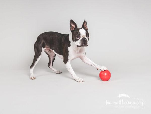 boston-terrier-playing