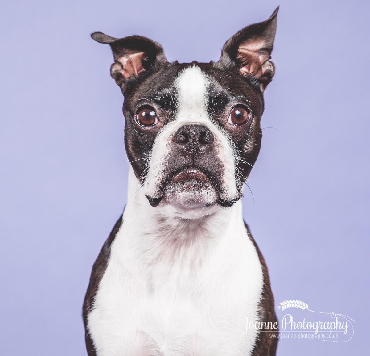 boston-terrier-pooch