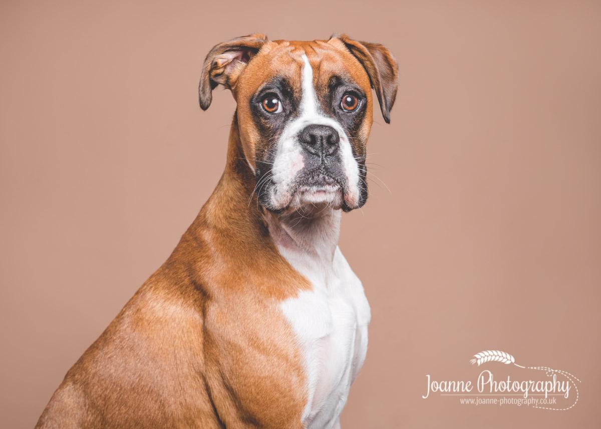 boxer-dog-portrait