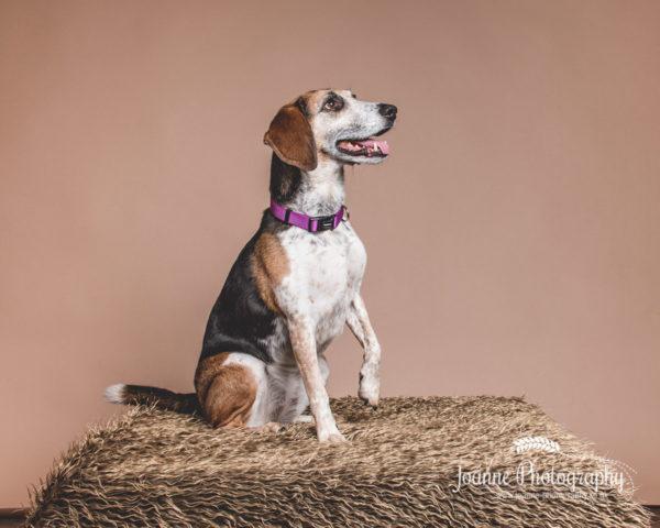 cheeky-beagle
