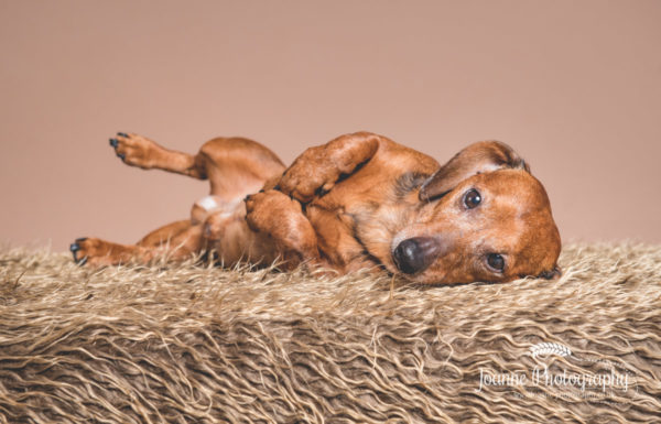 cute-sausage-dog