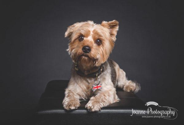 cute-yorkshire- terrier