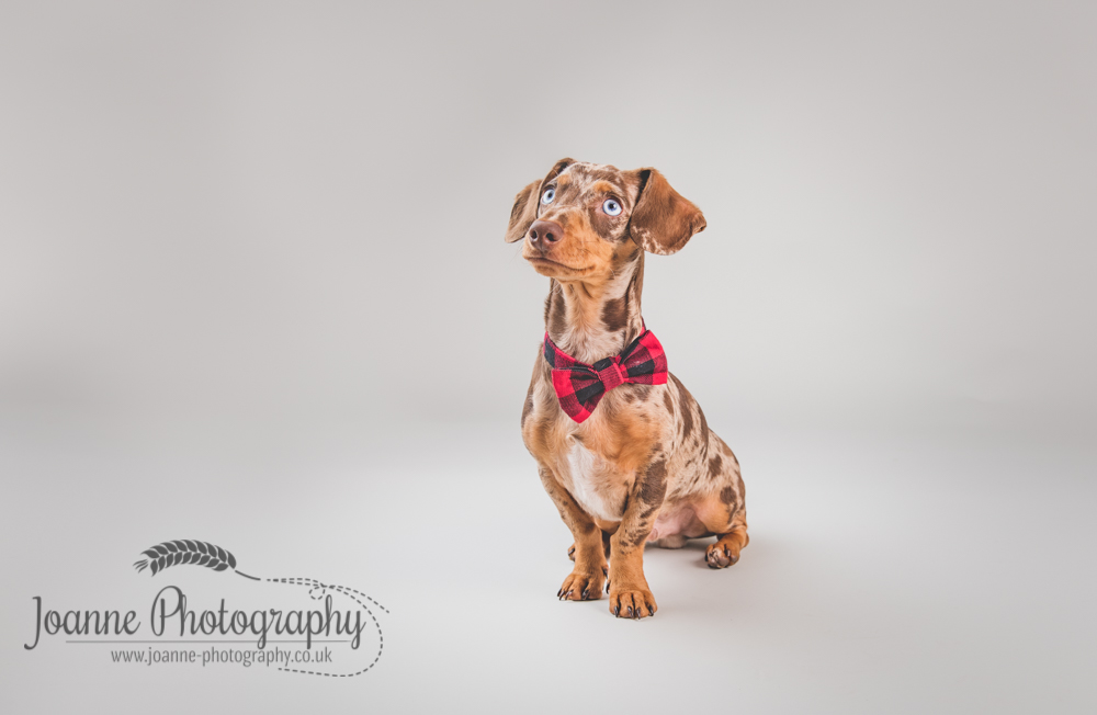 daschund pet photography