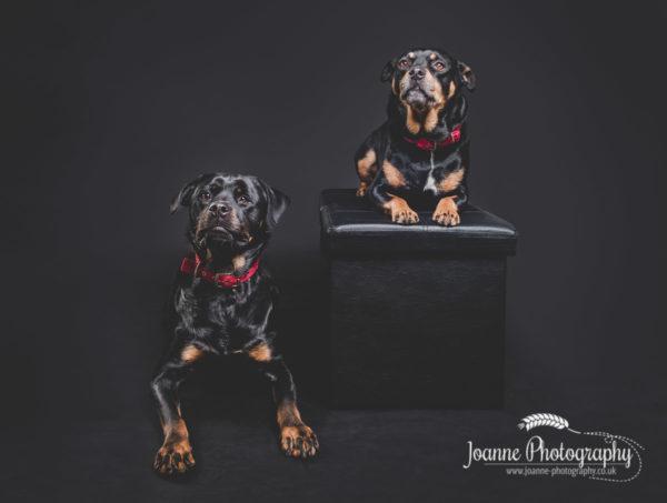 dog-studio-photography